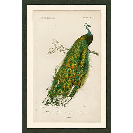 PeacockLgRRBr
