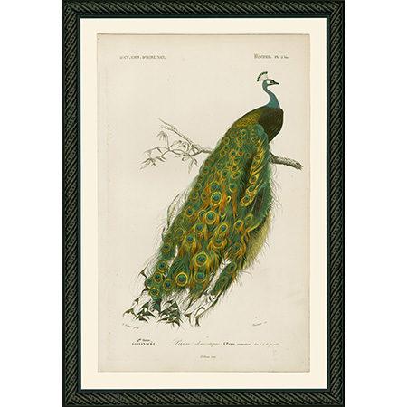 PeacockSmBdb