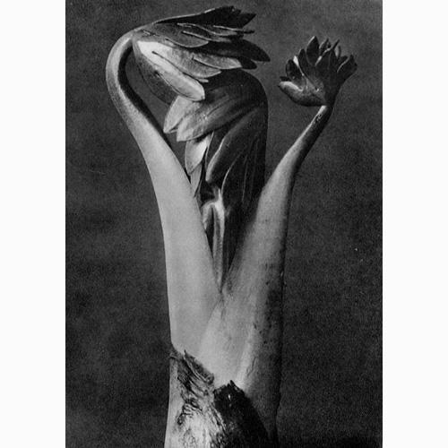 Karl Blossfeldt Photos<br>Original prints, c. 1942